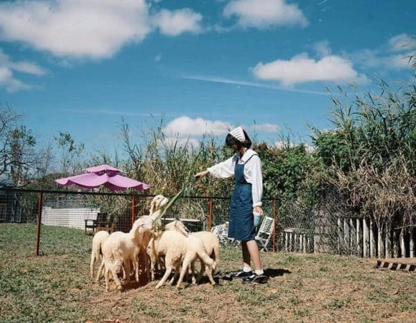 Nông trại cừu và chó Alaska
