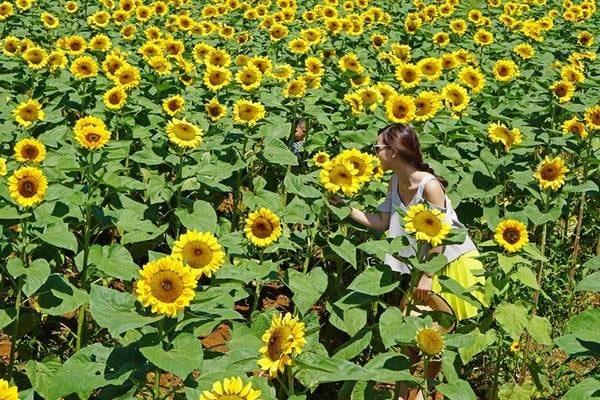 Cánh đồng hoa Hướng Dương được nhiều bạn trẻ check-in