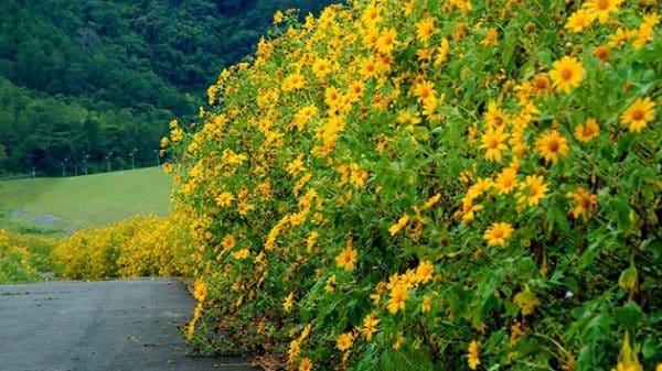 Những con đường hoa Dã Qùy nhuộm vàng Đà Lạt