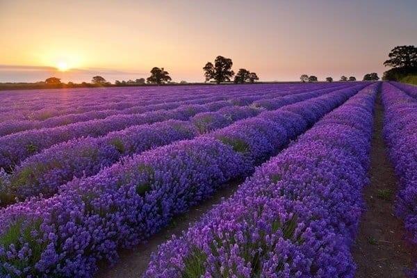 Cánh đồng hoa Lavender chạy đến cuối chân trời