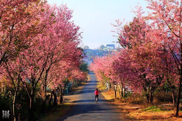 Mùa Mai Anh Đào - Lạc chân đến Nhật Bản mùa xuân