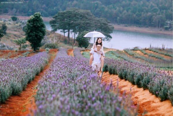 Cánh đồng Lavender - Ngỡ Provence thơ mộng