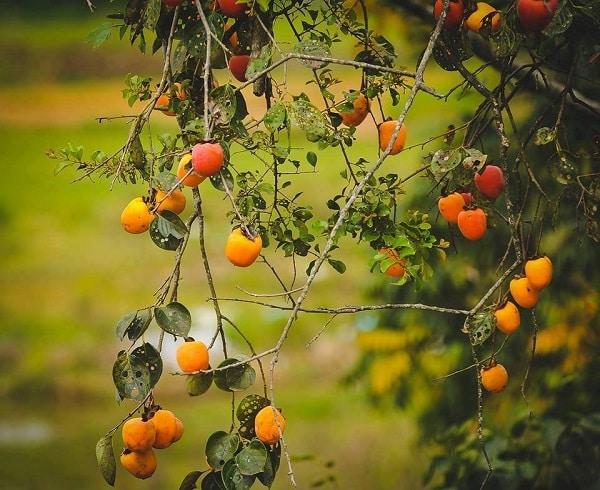 Bạn đã thử một lần nếm vị ngọt thanh của Hồng Đà Lạt còn lủng lẳng trên cây?