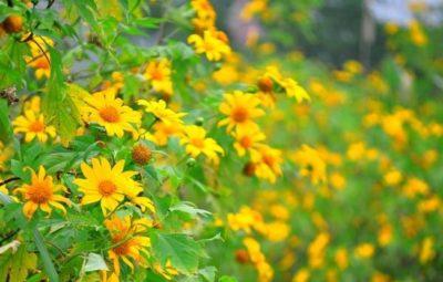 Cánh đồng hoa dã quỳ nở rộ giữa trời đông
