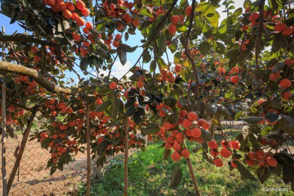 Hồng Đà Lạt - Thức quả thơm thảo của phố núi - Ảnh 1