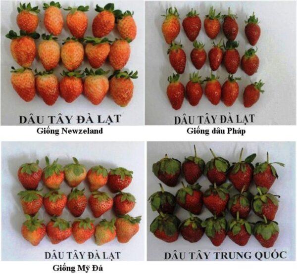 Người tiêu dùng có thể quan sát màu sắc, đài quả, phần thịt bên trong... để phân biệt dâu tây Đà Lạt và dâu tây Trung Quốc. Ảnh: chi Cục trồng trọt và bảo vệ thực vật tỉnh Lâm Đồng.