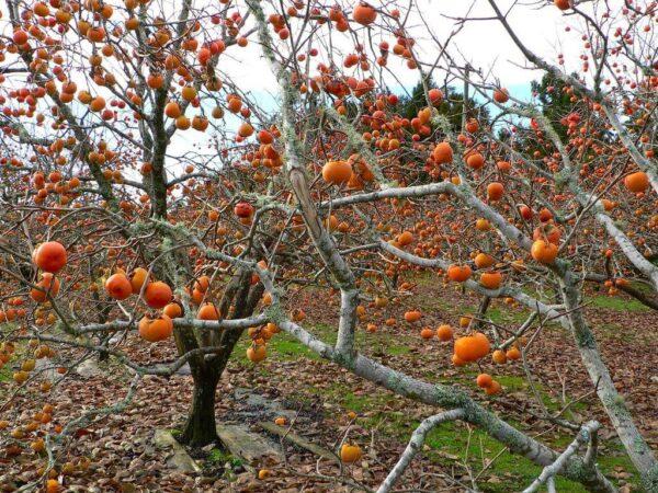 Vườn Hồng trơ trọi lá cây