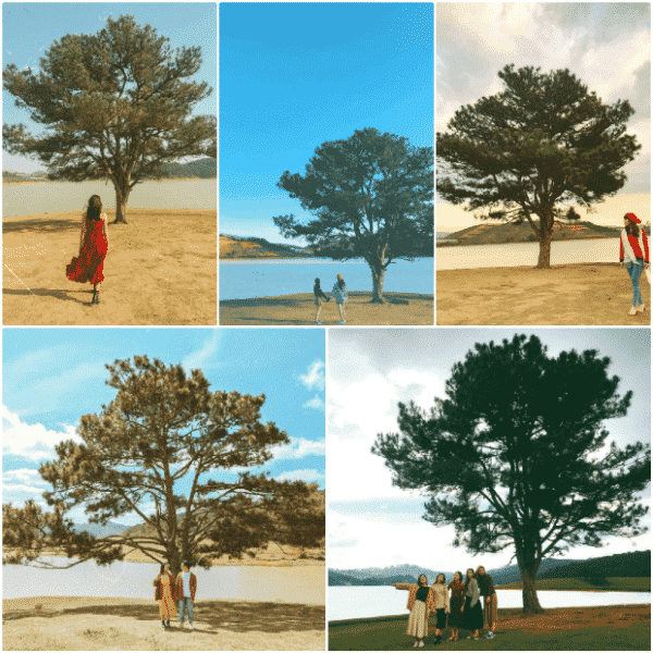 Lonely pine tree in Suoi Vang lake