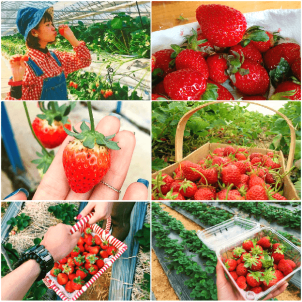 Ripe strawberries - Da Lat specialties