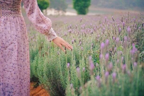 Lavender Farm & Coffee