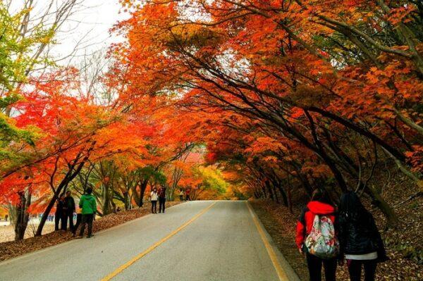 Rừng lá Phong đổi màu