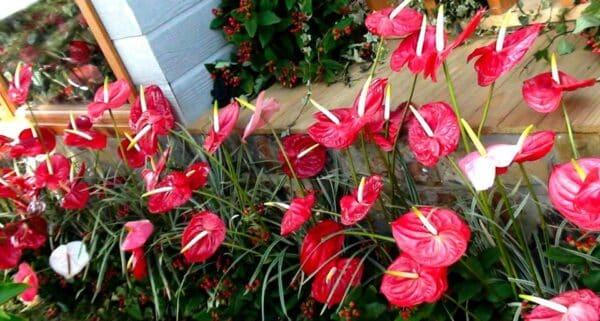 Hoa hồng môn Đà Lạt - Ảnh 3