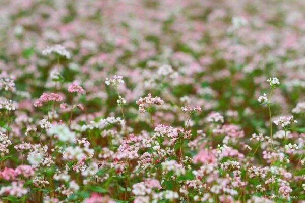 Hoa Tam Giác mạch trắng xóa nở