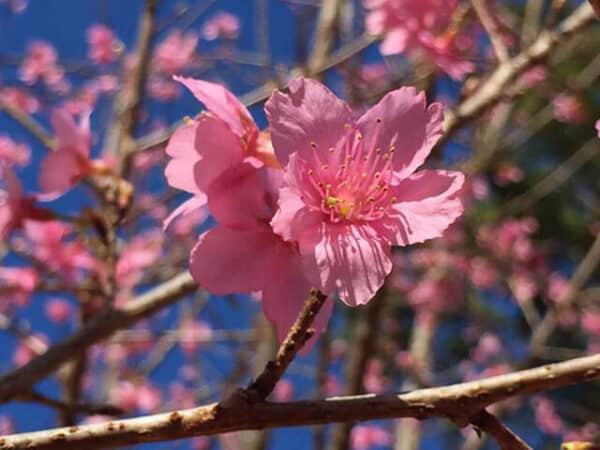 Cánh hoa Anh Đào mỏng manh