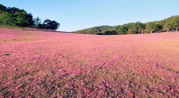 Đồi cỏ Hồng e ấp trong gió