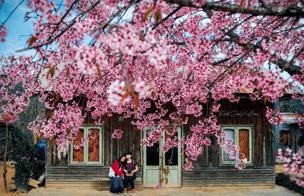 Ngắm hoa anh Đào tháng 1