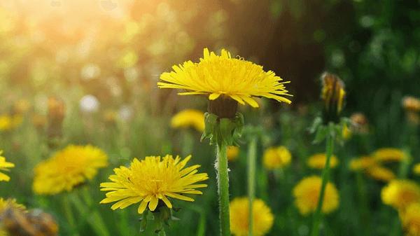 Ngắm hoa bồ công anh khi đến Đà Lạt