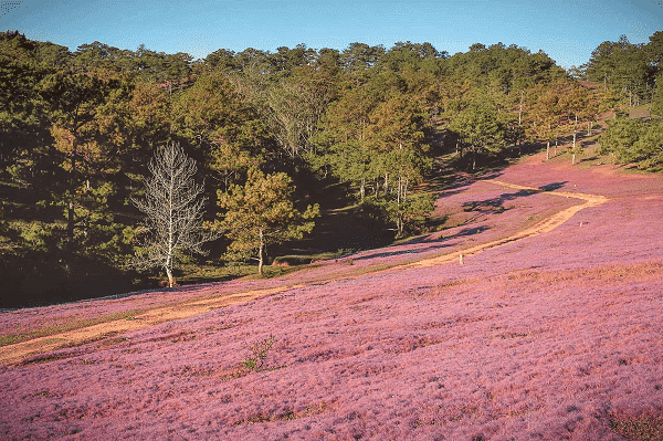 Mùa hoa cỏ hồng