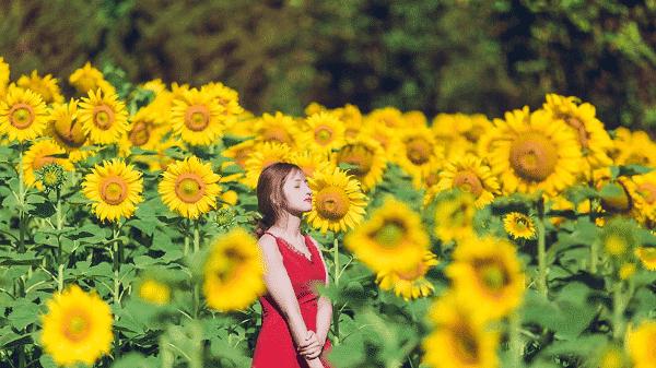 Mùa hoa hướng dương