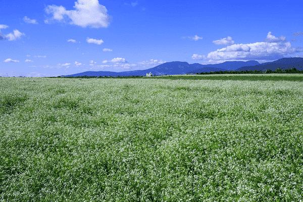 Hoa cải trắng tháng 5