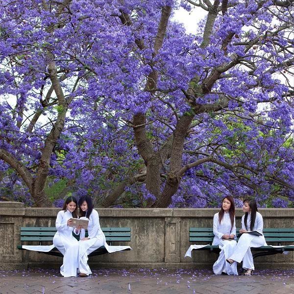 Ngắm hoa phượng tím trên các cung đường trung tâm