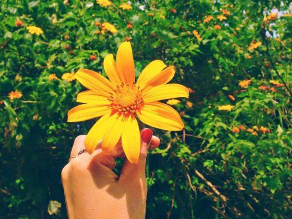 Hoa Dã Quỳ phủ khắp một vùng trời