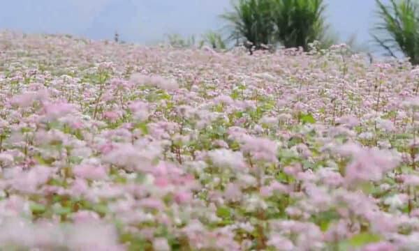 Mùa hoa Tam Giác mạch trắng xóa