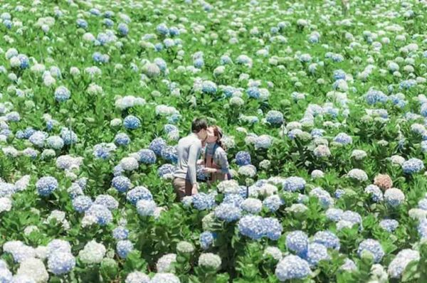 Sắc hoa Cẩm Tú Cầu an yên
