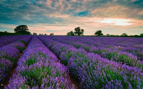 Cánh đồng hoa Oải Hương như đưa bạn đến nước Pháp xa xôi