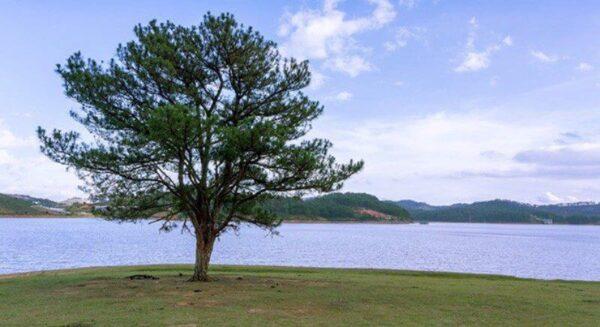 Hồ Suối Vàng và cây Thông cô đơn
