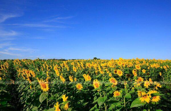 Cánh đồng hoa Hướng Dương đèo Tà Nung