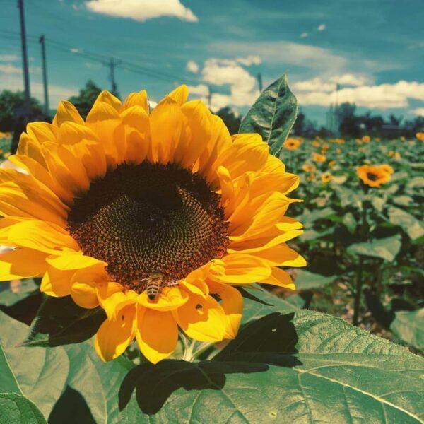 Những cánh hoa Hướng Dương rực rỡ trong nắng