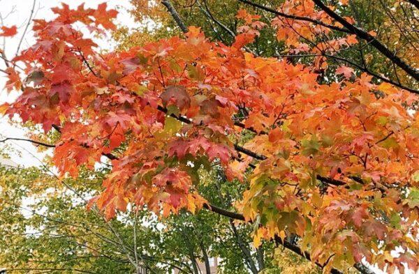 Rừng cây lá phong trong khu du lịch