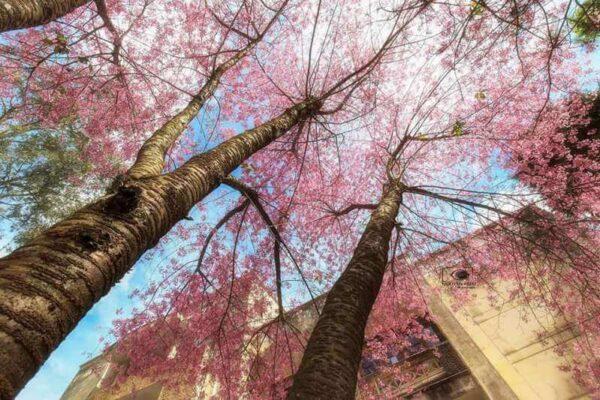 Những con đường ngập tràn hoa Mai Anh Đào
