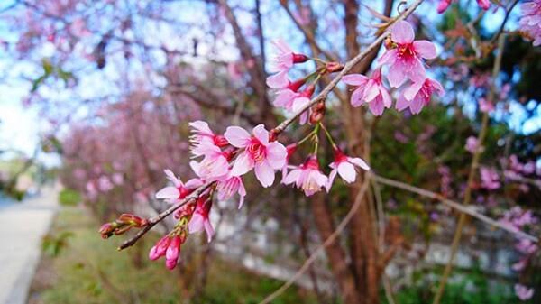 Mai Anh Đào - Loài hoa của mùa Xuân Đà Lạt