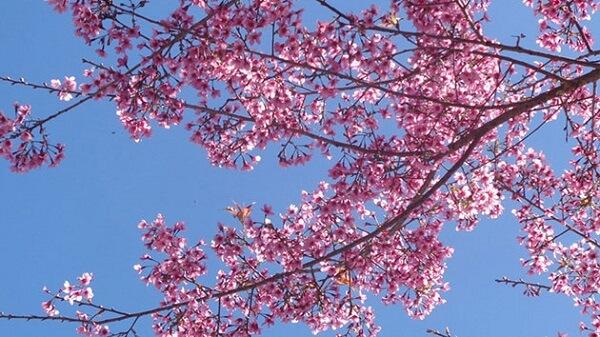 Hoa Mai Anh Đào Đà Lạt - Loài hoa đặc trung của Đà Lạt