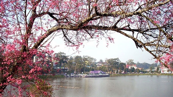 Hoa Mai Anh Đào nở khắp thành phố Đà Lạt mỗi xuân về