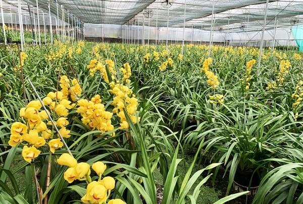Vườn hoa địa lan ở Phường 8 nở trước Tết 2 tháng.