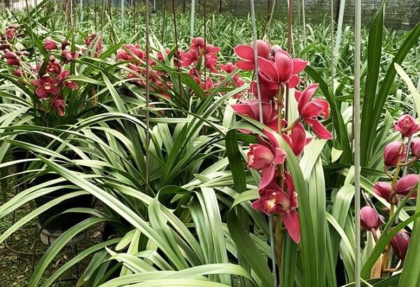 Hoa nở càng nhiều, nhà vườn càng lỗ nặng.