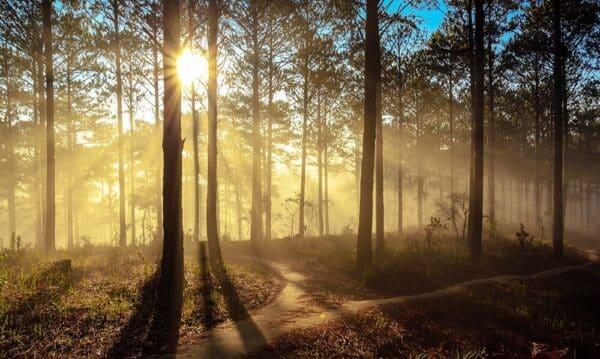 Tia nắng bình minh chiếu qua rừng Thông Đà Lạt đẹp đến lạ kỳ