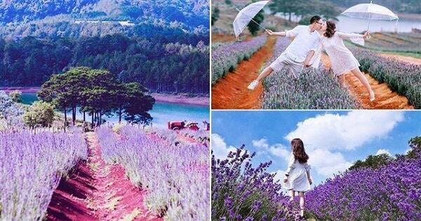 Cánh đồng hoa Lavender Đà Lạt mới, view siêu đẹp