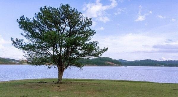 Cây Thông cô đơn và hồ Suối Vàng cho khung cảnh cỏ Hồng thêm bắt mắt