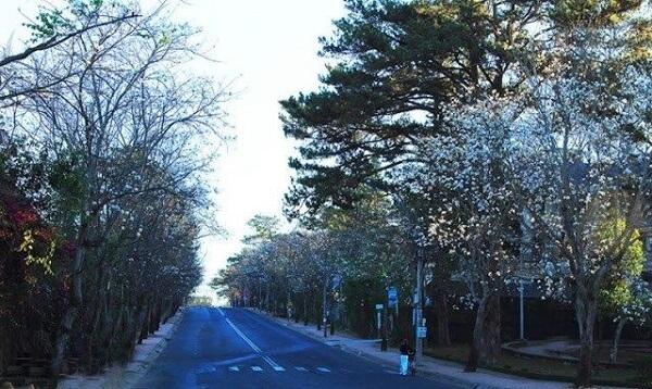 Cung đường Hoa Ban tuyệt đẹp trên đường Quang Trung Đà Lạt
