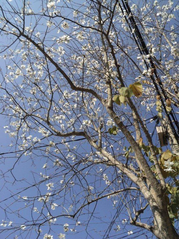 Những bông hoa Ban trắng lủng lẳng trên những tán cấy trụi lá