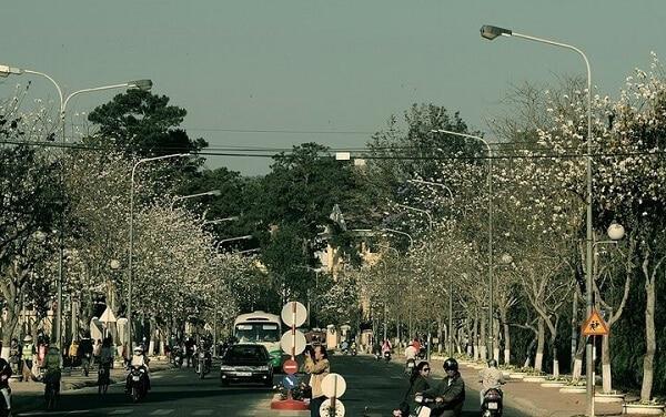 Cung đường Trần Phú ngắm hoa Ban trắng nở rộ