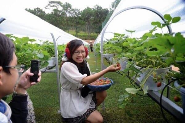 Hình ảnh du khách chụp hình hái dâu tại vườn dâu Đà Lạt