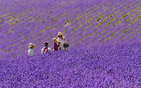 Du khách chụp hình tại cánh đồng hoa oải hương