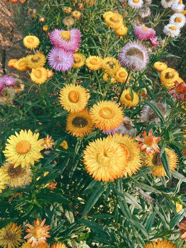 Đồi hoa bất tử Đà Lạt - Ảnh 5