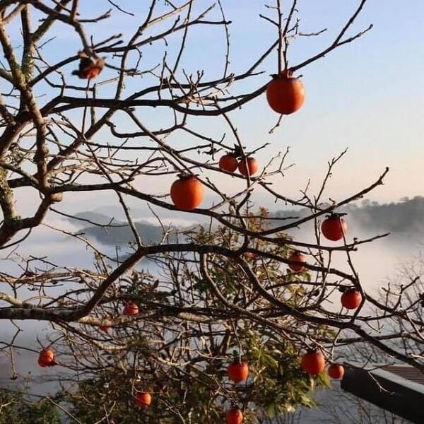 Mùa hồng Đà Lạt bắt đầu từ tháng 9 đến tháng 12 hàng năm