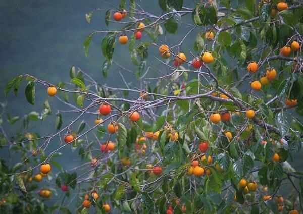 Mùa thu ở Đà Lạt cũng là lúc hồng chín rộ